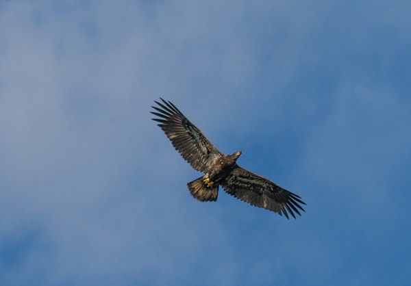 Juvenile Eagle Art | Drew Campbell Photography