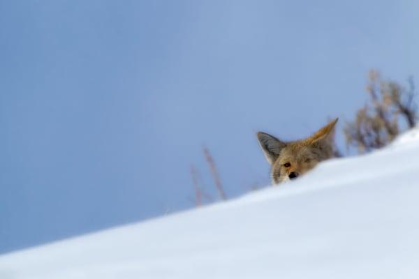 Wild Coyote | Robbie George Photography