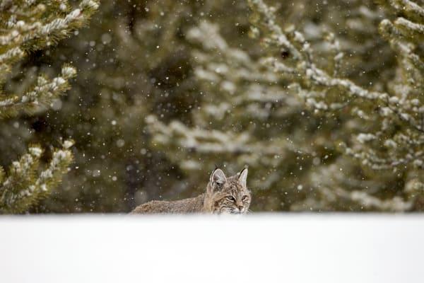 Wild Bobcat | Robbie George Photography