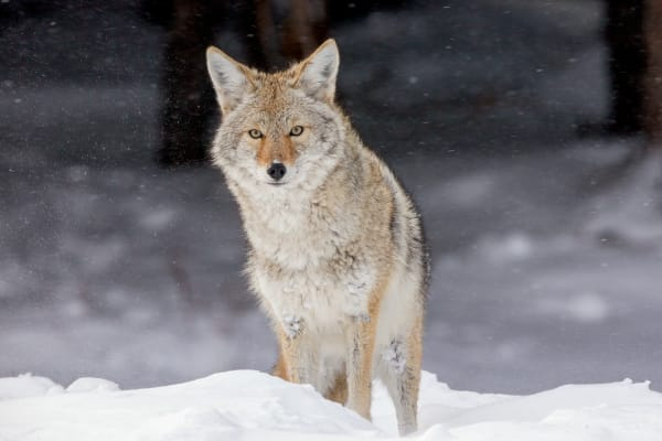 Coyote | Robbie George Photography
