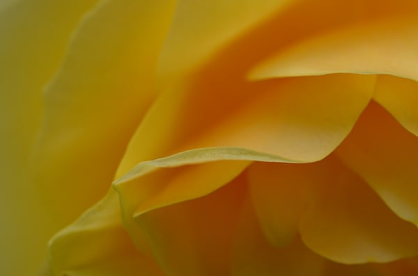 Yellowrosepetal1 Photography Art | LIGHT POETRY PHOTOS