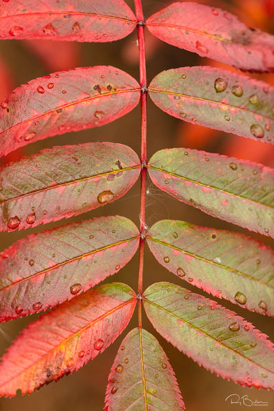 Mountain Ash (Sorbus sitchensis) leaves transitioning to red autumn colors in Chugach National Forest in Southcentral Alaska. Morning.