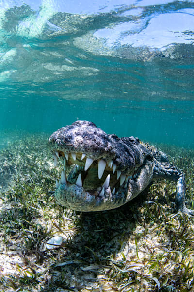 A crocodile Defending Ground is an image for sale as a fine art print.
