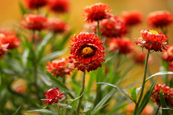 Red Mums at Tower Grove Park