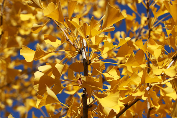 Ginkgo Leaves At Citygarden Art | Moore Design Group