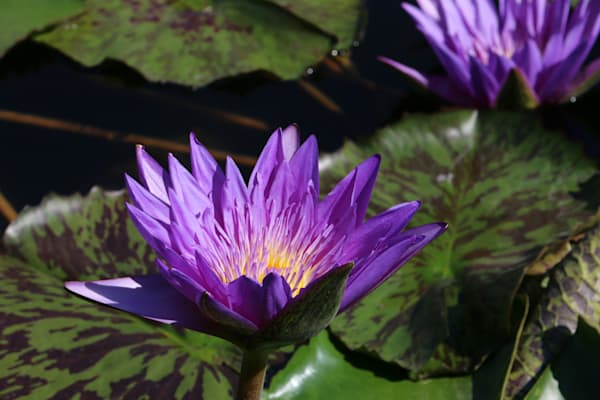 Purple Waterlily Art | Moore Design Group