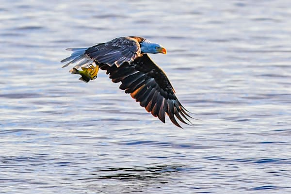 Bald eagle with a fish - photography prints