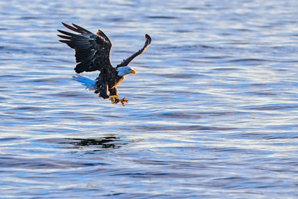 Bald eagle prepares to catch a fish photography prints