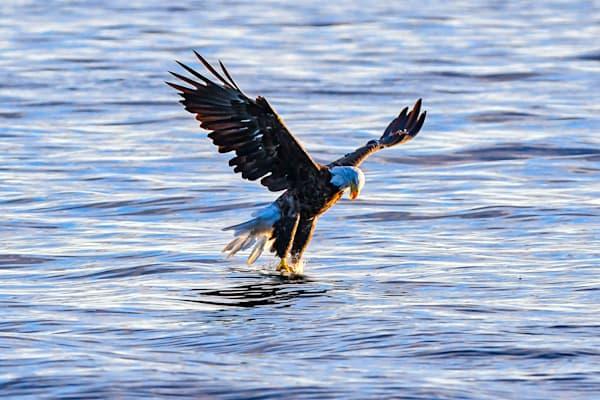 The grab - Bald eagle grabs a fish - photography print
