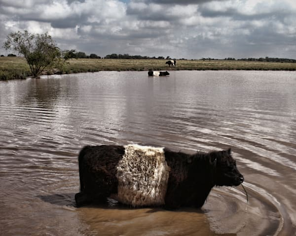 Farm fine art photography with Beltie oreo cow print