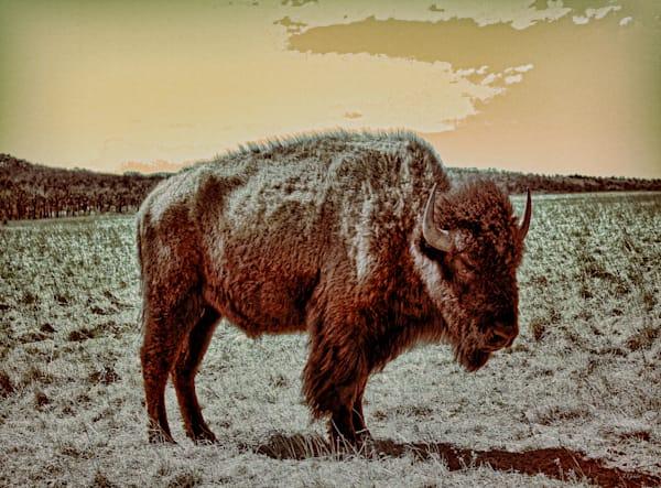 Bison photography buffalo fine art
