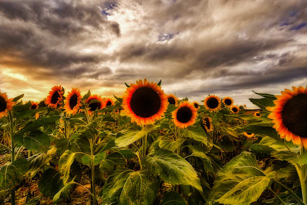 Dramatic Sunflowers