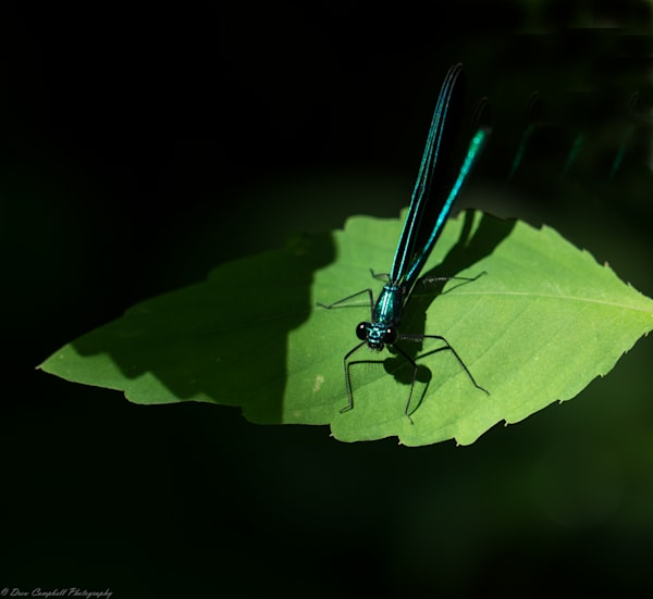 Dragonfly  Art | Drew Campbell Photography