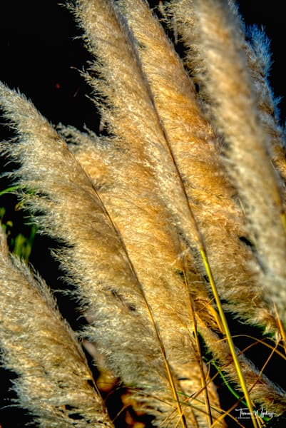 Silvergrass - photography by Thomas Wyckoff