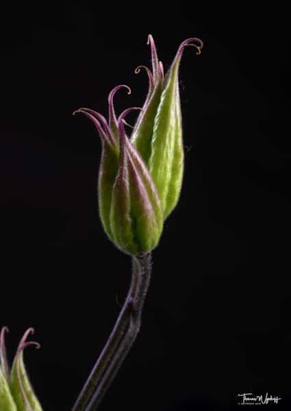Thomas Wyckoff Flower Photographs - Columbine 4