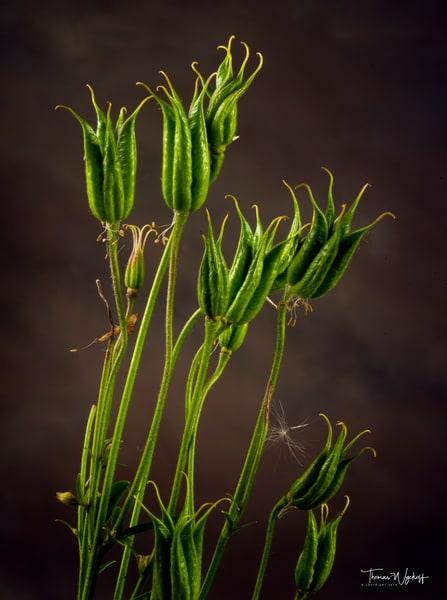 Flower photograph by Thomas Wyckoff - Columbine 1