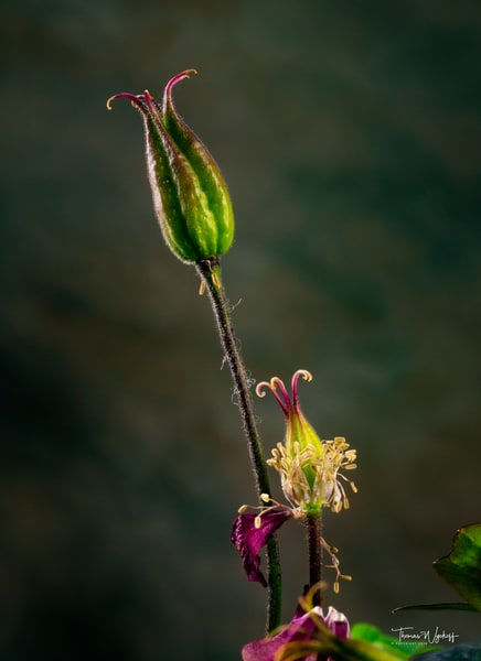 Columbine 2 - Botanical Photos by Thomas Wyckoff