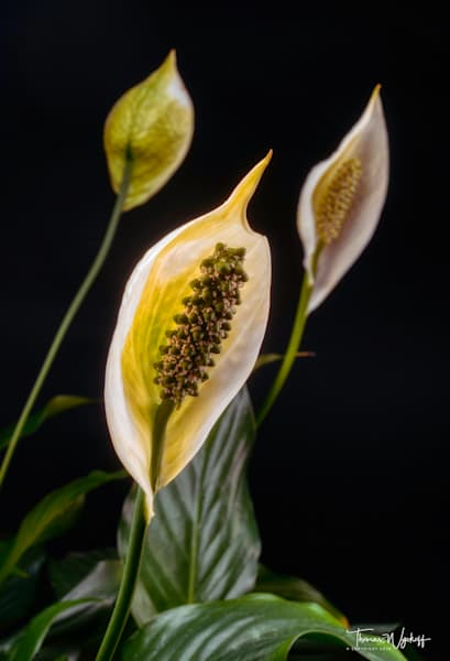 Peace Lily - Photograph by Thomas Wyckoff