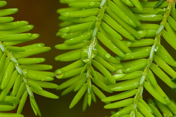 Raindrops on Hemlock