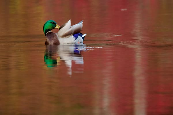 Photograph of a Preening Mallard on recycled aluminum.