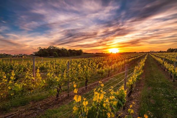 Osprey Vineyard Sunset