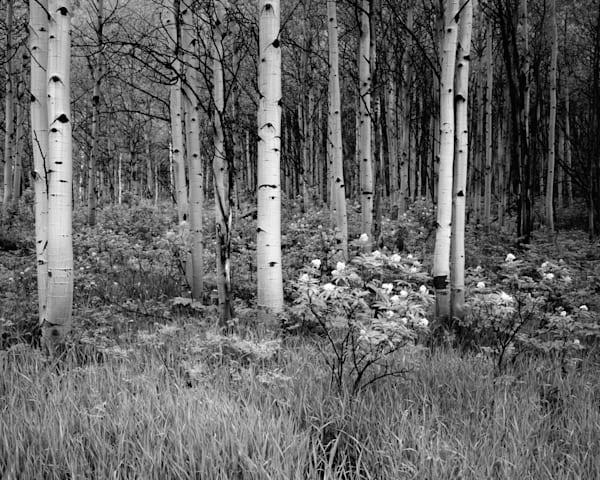 Aspen Grove Photography Art | Craig Primas Photography