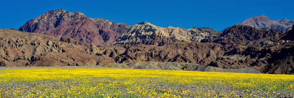 Death Valley Bloom Photography Art | Craig Primas Photography