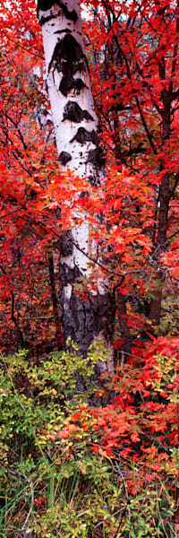 Birch And Maple Vpan Photography Art | Craig Primas Photography
