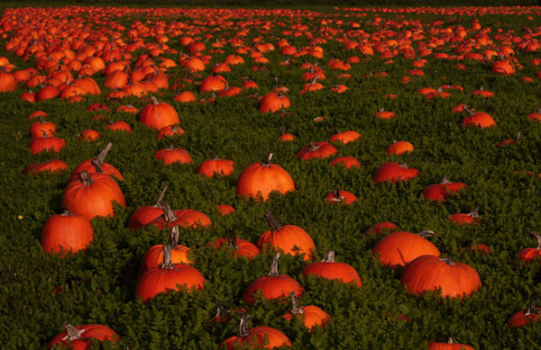 Pumpkin Field Photography Art | Drew Campbell Photography