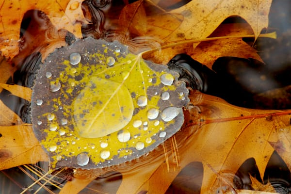Photograph of an aspen leaf with water drops printed on recycled aluminum.