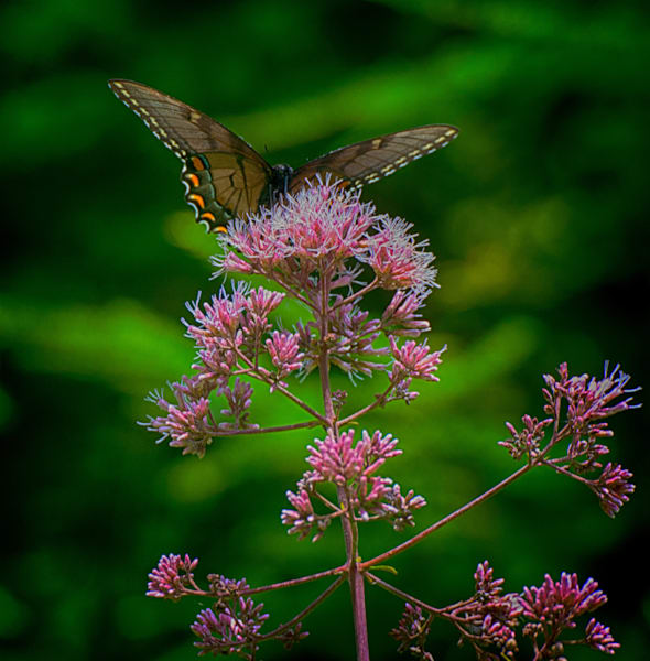 Joe Pye Weed Art | Drew Campbell Photography