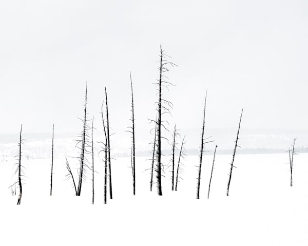 Trees In Yellowstone Photography Art | Drew Campbell Photography