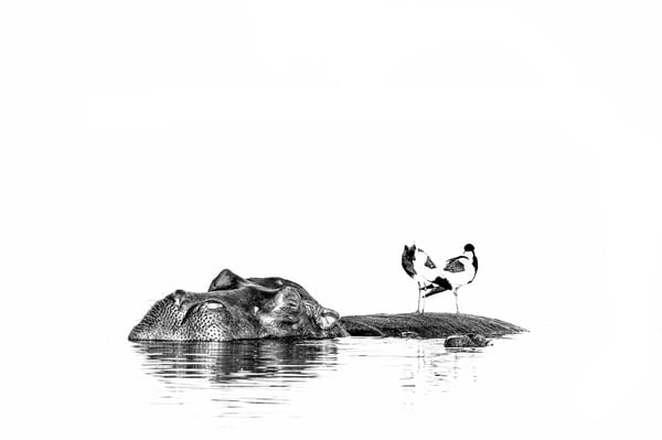 A Hippo sleeping during day hours in the Chobe River with two Black Smith Lapwings using it as a rest stop.