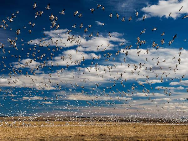 Bosque Del Apache Snow Geese Photography Art | Craig Primas Photography