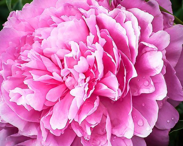 Pink-Peony