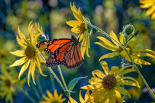 The Monarch & The Sunflower | Shop Photography by Rick Berk