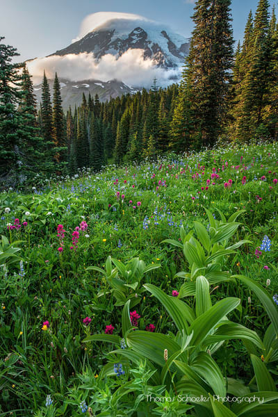 Wildflower Blooms of Paradise valley | Mt Rainier National Park photo art