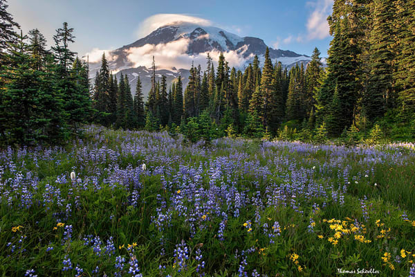 Mt Rainier and Lenticular Cloud over Paradise Lupine Meadow | Photo Art prints available to purchase