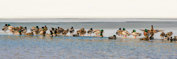 Duck Party Photography Art | Craig Primas Photography