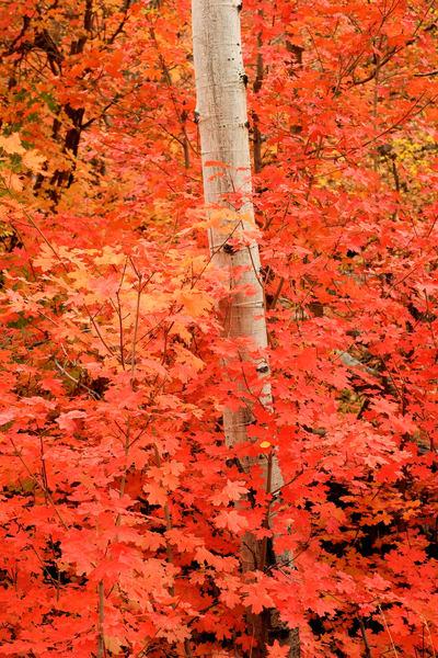 Maple Shroud Photography Art   Craig Primas Photography