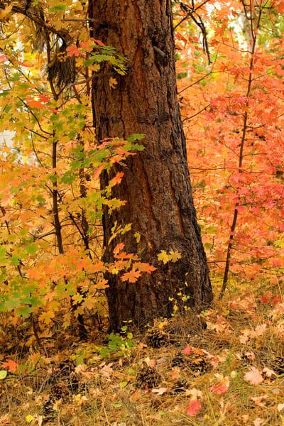 Autumn Ponderosa Photography Art | Craig Primas Photography