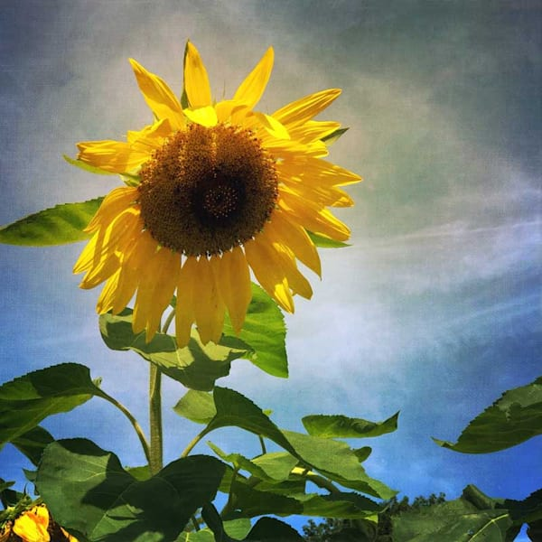 Bright Sunflower Photo Tile - for sale as 4x4 and 6x6-inch ceramic tiles