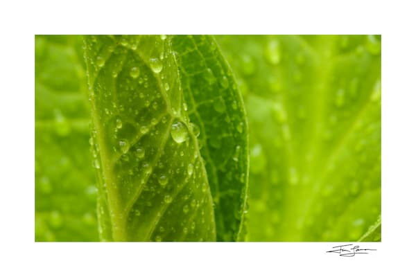 "Photographic print of ""Spring Rain"" by Tim Laman."