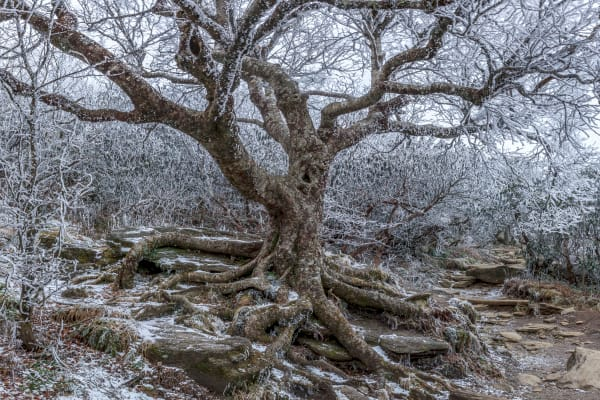 Frozen Birch Photography Art | Red Rock Photography