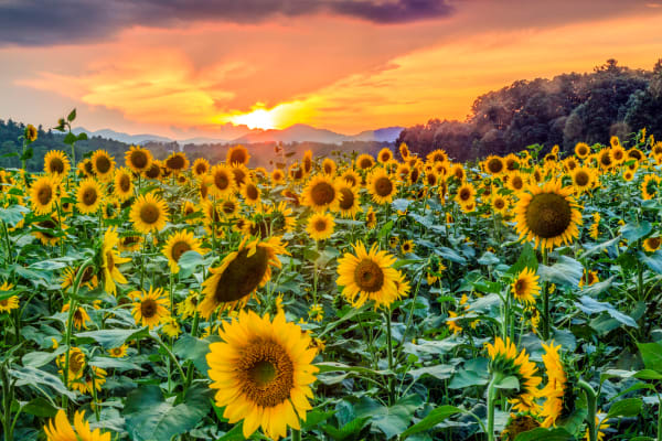 Sunflowers Of Antler Hill Photography Art | Red Rock Photography