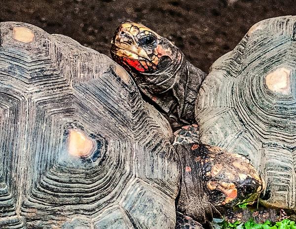 Tortoises 2016