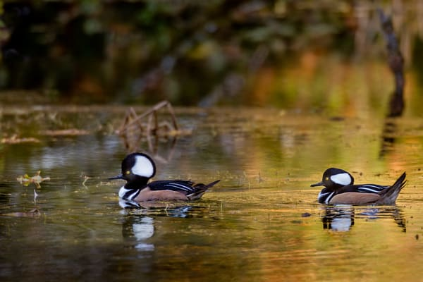 Two Male Hooded Mergansers (Lophodytes cucullatus) in old beaver pond along Hoh River, Olympic National Park, WA.