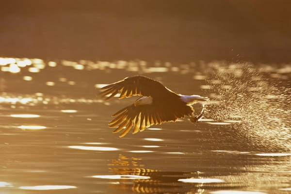 Bald Eagle catching fish at sunrise.  Pacifc Northwest.