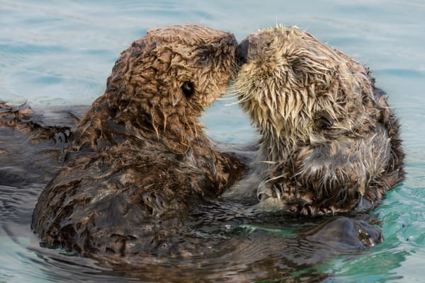 Sea Otter mother with playful pup