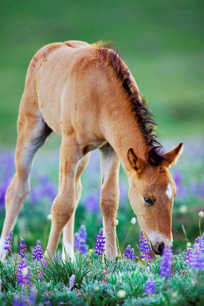 Wild Horse colt with wildflowers.  Montana.  Summer.